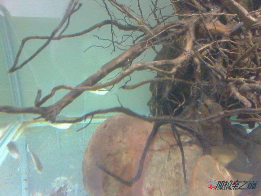 加拉辛红腹水虎发威了把草【西安水族馆微信】金给干死了 西安观赏鱼信息 西安博特第6张
