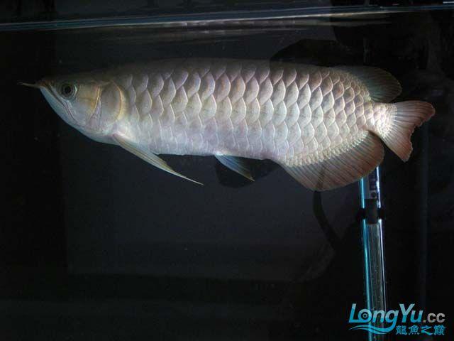 周老板看看我的龙龙 西安观赏鱼信息 西安博特第1张