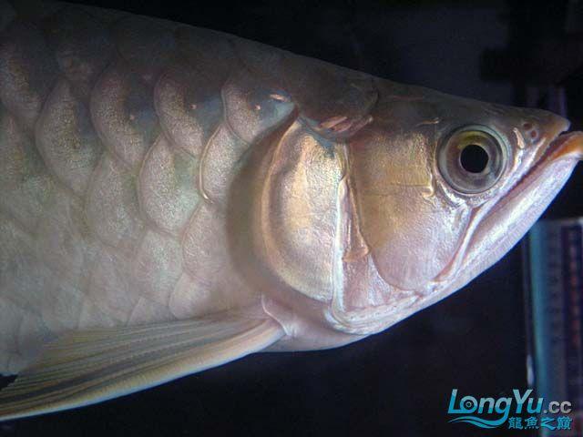 周老板看看我的龙龙 西安观赏鱼信息 西安博特第5张