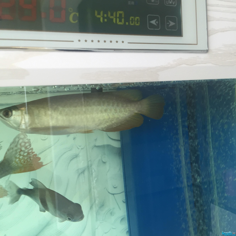 昨天的照片看不清现在从发求大【西安大白鲨】神坚定是不是高背 西安观赏鱼信息 西安博特第2张