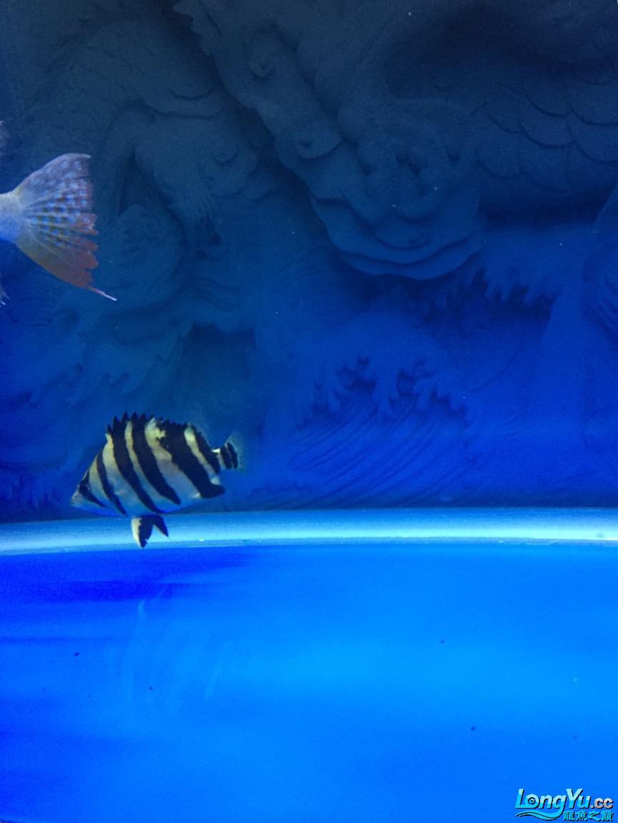 昨天的照片看不清现在从发求大【西安大白鲨】神坚定是不是高背 西安观赏鱼信息 西安博特第1张