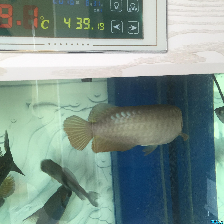 昨天的照片看不清现在从发求大【西安大白鲨】神坚定是不是高背 西安观赏鱼信息 西安博特第3张