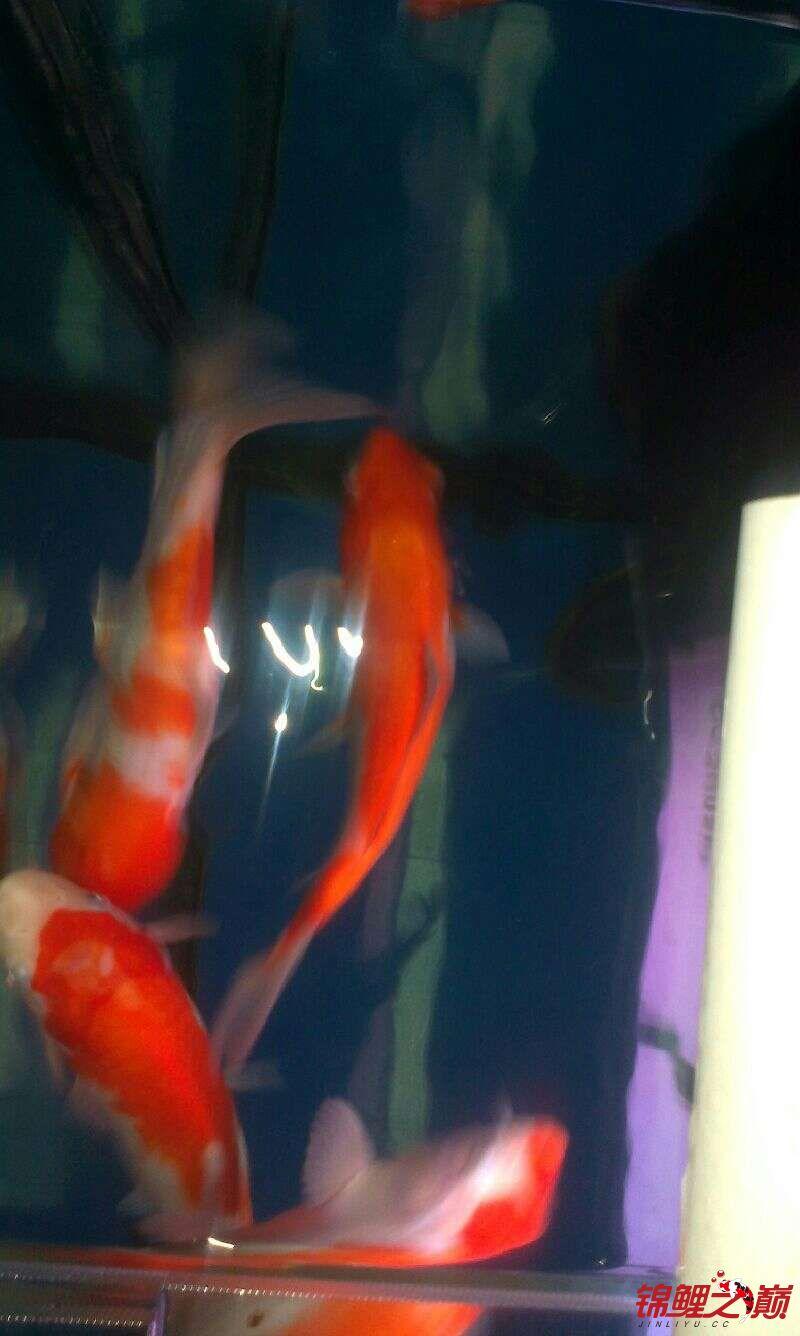 【西安哪个水族店有飞凤鱼】再发几张闯缸红白 西安观赏鱼信息 西安博特第2张