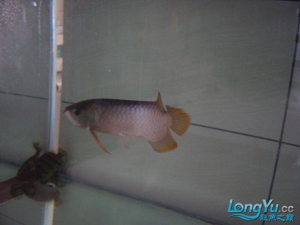我的号半【西安细线银板批发】半年咯 西安观赏鱼信息 西安博特第2张