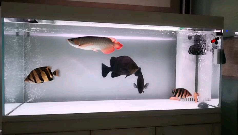 龙四十五厘米龙鱼 西安龙鱼论坛 西安博特第1张