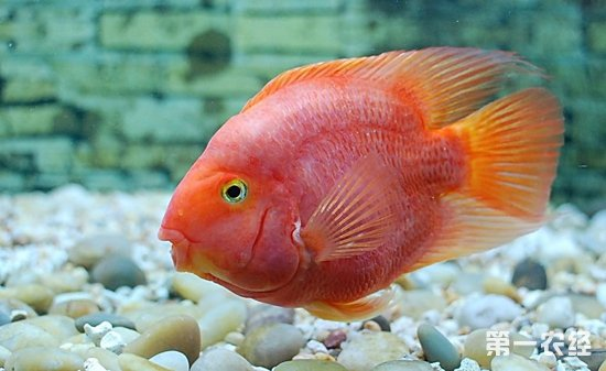 龙四十五厘米龙鱼 西安龙鱼论坛 西安博特第2张