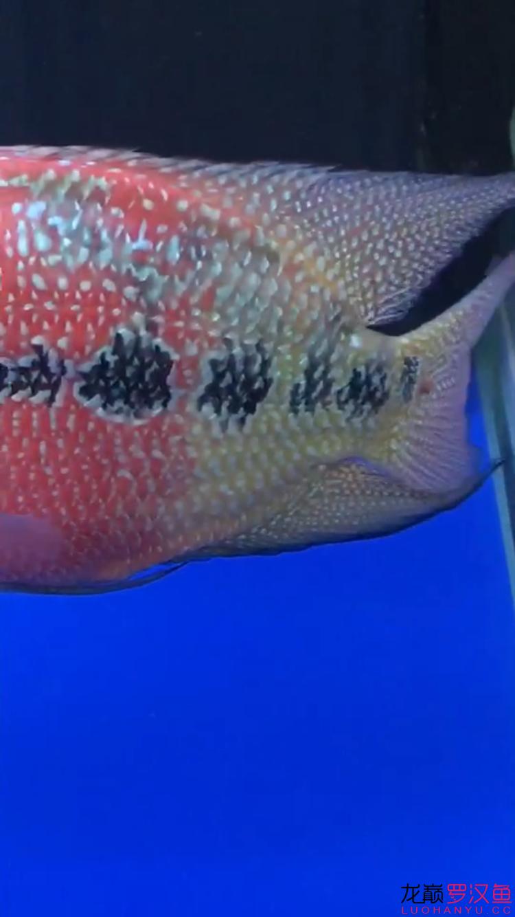 我的罗汉尾巴长了一个肉瘤怎么办?? 西安龙鱼论坛