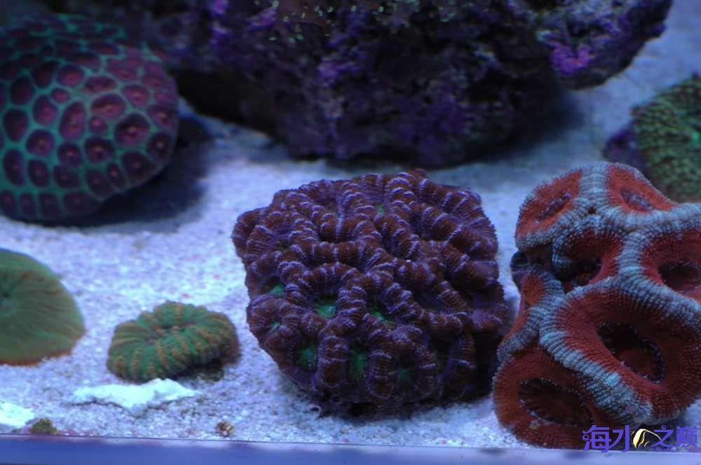 蛙卵和脑珊瑚 西安观赏鱼信息 西安博特第3张