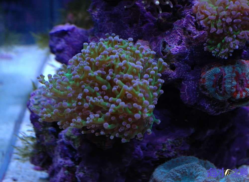 蛙卵和脑珊瑚 西安观赏鱼信息 西安博特第4张