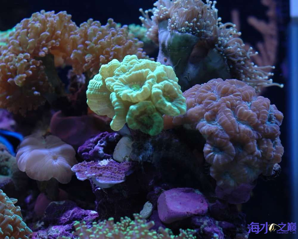 蛙卵和脑珊瑚 西安观赏鱼信息 西安博特第5张