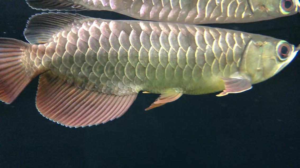 到手10天的小鱼 西安观赏鱼信息