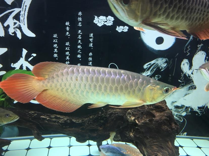 分享一下 大红大金 皇珍 西安龙鱼论坛 西安博特第2张