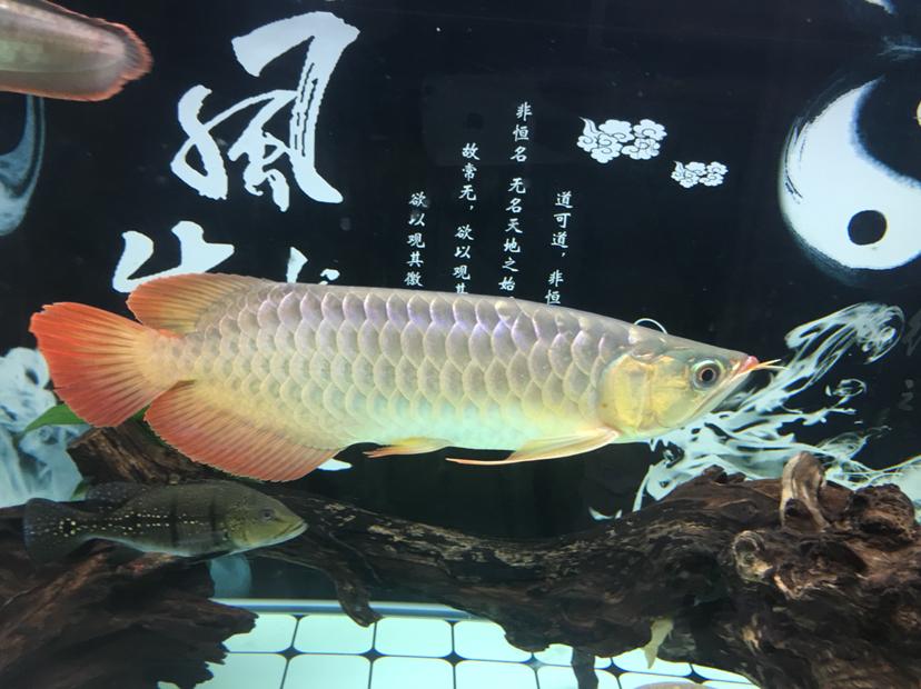 分享一下 大红大金 皇珍 西安龙鱼论坛 西安博特第3张