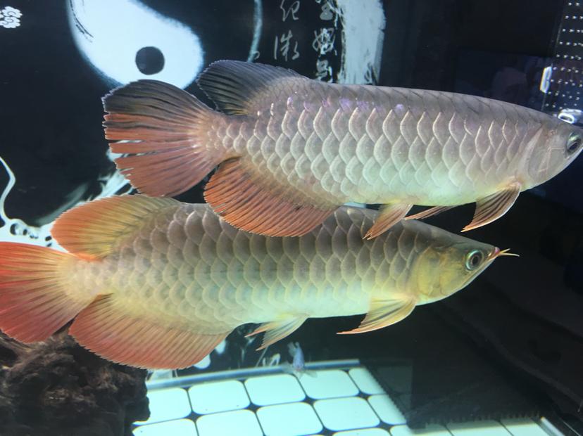 分享一下 大红大金 皇珍 西安龙鱼论坛 西安博特第4张