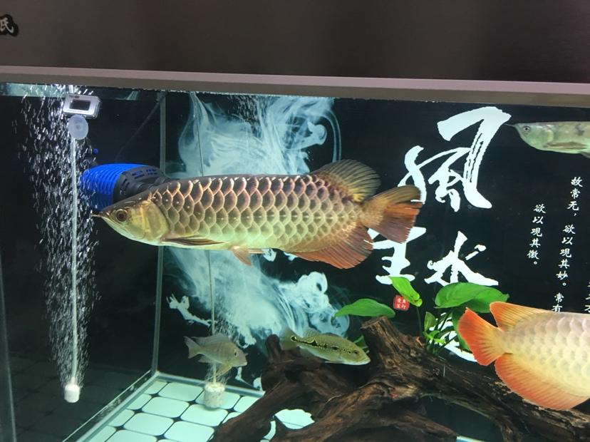 分享一下 大红大金 皇珍 西安龙鱼论坛 西安博特第5张