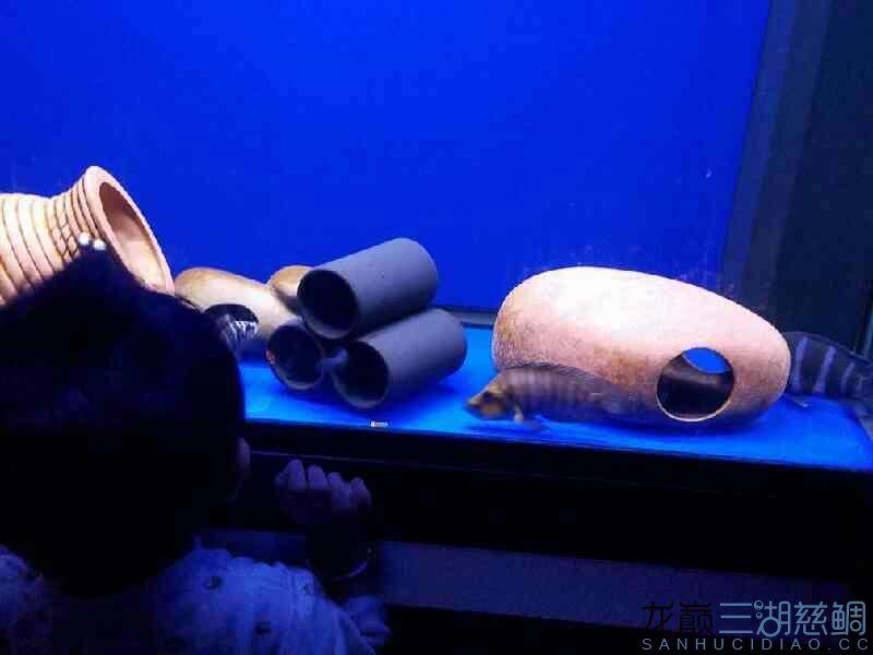 枫之谷+ 夜里突然开灯的后果 西安观赏鱼信息 西安博特第2张