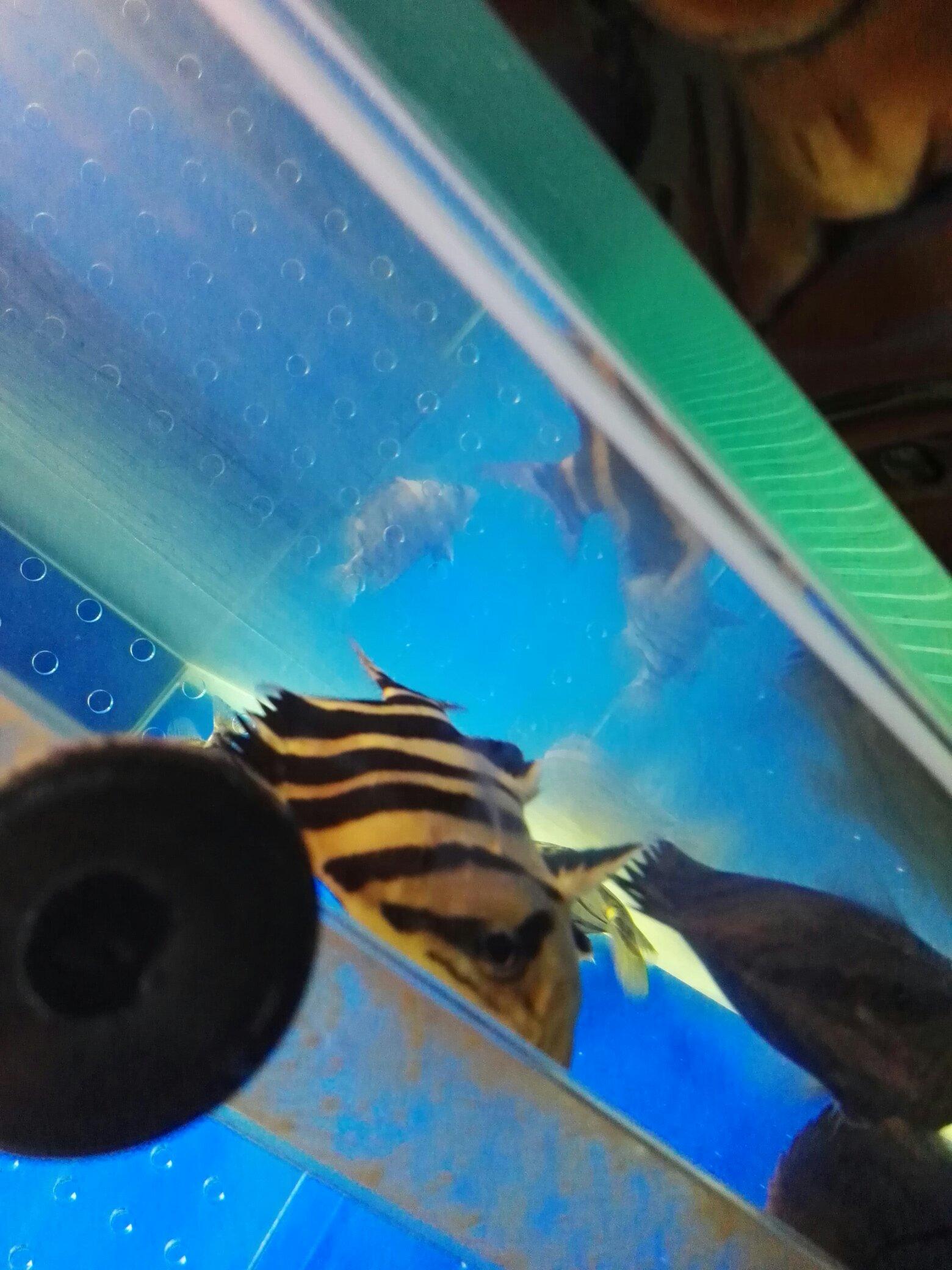 【西安慈鲷鱼】明虎如玉 西安龙鱼论坛 西安博特第2张