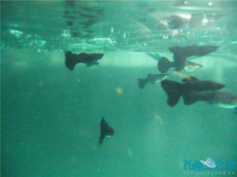 别人送的孔雀鱼怎么样还行不? 西安观赏鱼信息 西安博特第3张
