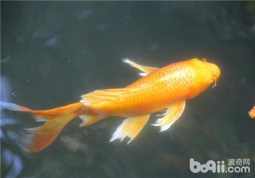 别人送的孔雀鱼怎么样还行不? 西安观赏鱼信息 西安博特第6张