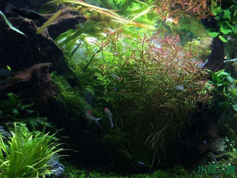 开缸1个半月后经历各种问题 西安观赏鱼信息 西安博特第1张
