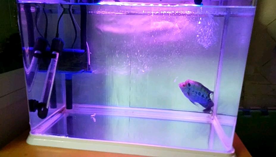 瓜子苗开始养的两个半月了看看怎么样? 西安观赏鱼信息 西安博特第1张