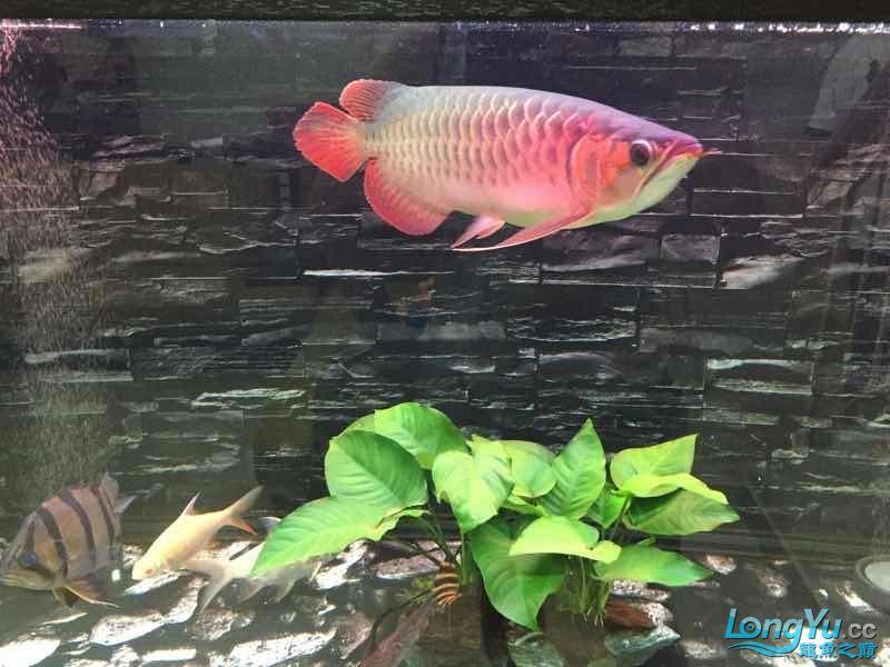 我的龙鱼与印尼虎的成长速度差太多了