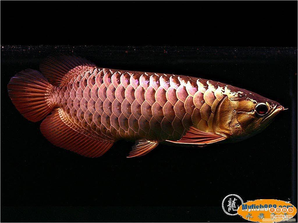 放水养鱼龙鱼 西安龙鱼论坛 西安博特第4张