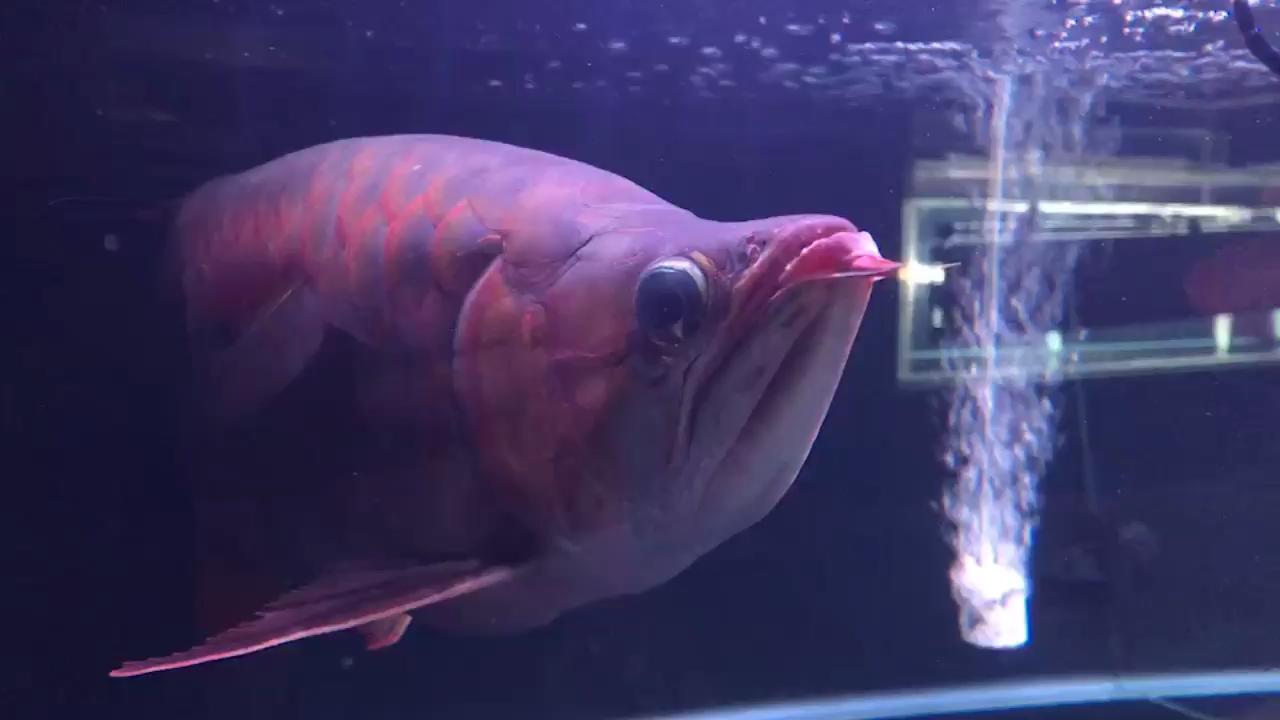 航母级的广东鱼友圈 西安观赏鱼信息 西安博特第1张