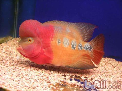 红灯下的小宇宙 西安龙鱼论坛 西安博特第3张