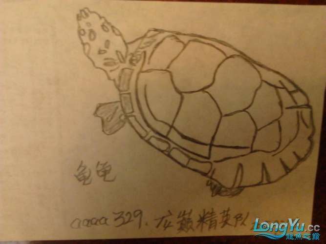 【龙巅精英】铝笔绘画、(龟龟) 西安观赏鱼信息 西安博特第1张