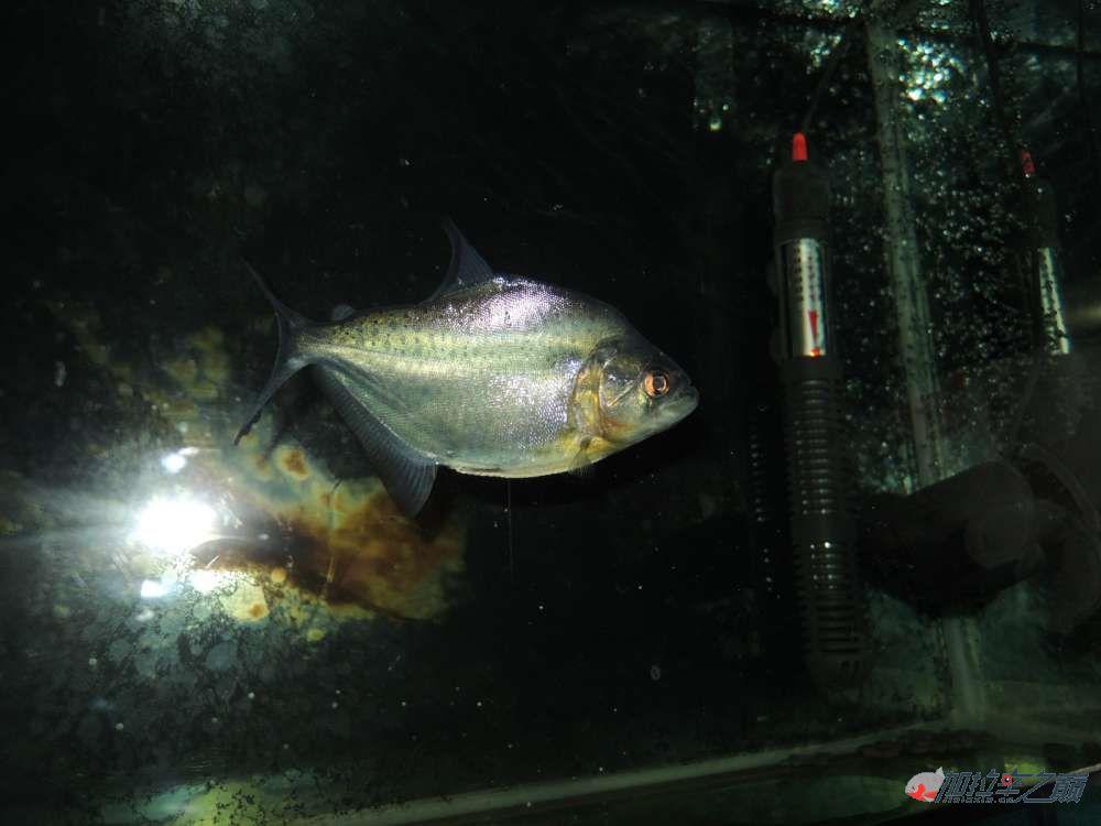 这养的黑的状态不赖了大量高清【转载】 西安龙鱼论坛 西安博特第1张