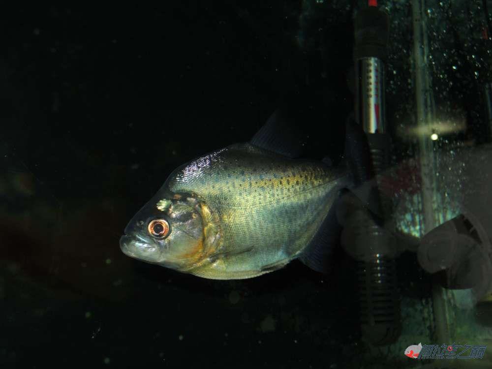 这养的黑的状态不赖了大量高清【转载】 西安龙鱼论坛 西安博特第3张