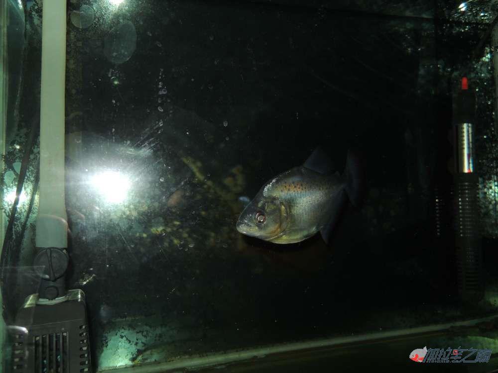 这养的黑的状态不赖了大量高清【转载】 西安龙鱼论坛 西安博特第4张