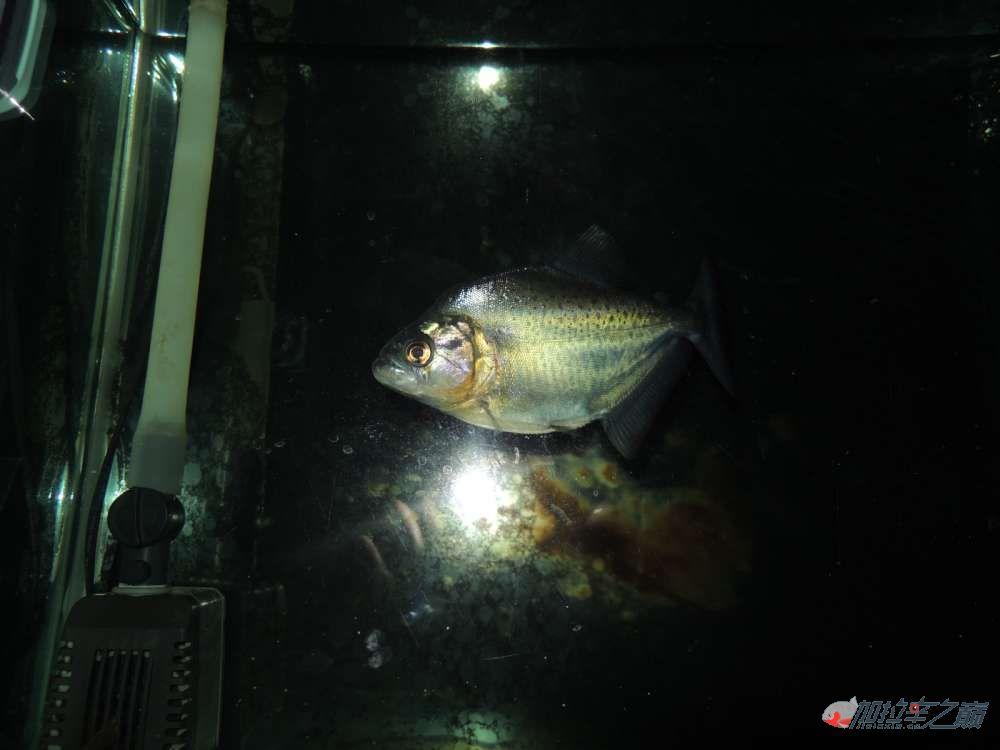 这养的黑的状态不赖了大量高清【转载】 西安龙鱼论坛 西安博特第5张