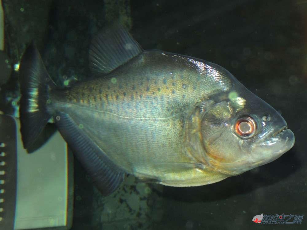 这养的黑的状态不赖了大量高清【转载】 西安龙鱼论坛 西安博特第8张