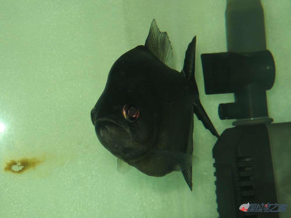 这养的黑的状态不赖了大量高清【转载】 西安龙鱼论坛 西安博特第10张