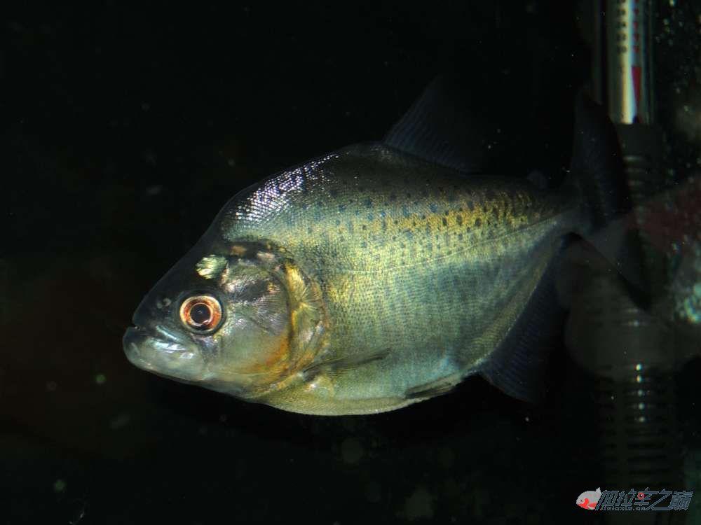 这养的黑的状态不赖了大量高清【转载】 西安龙鱼论坛 西安博特第11张