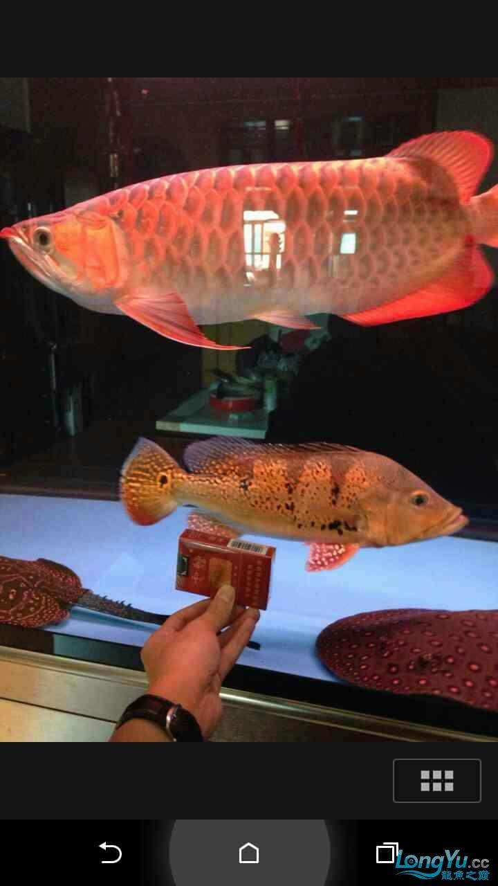 野生巴西亚请大师鉴定 西安观赏鱼信息 西安博特第1张