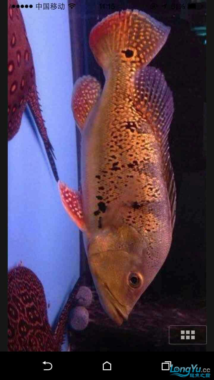 野生巴西亚请大师鉴定 西安观赏鱼信息 西安博特第2张