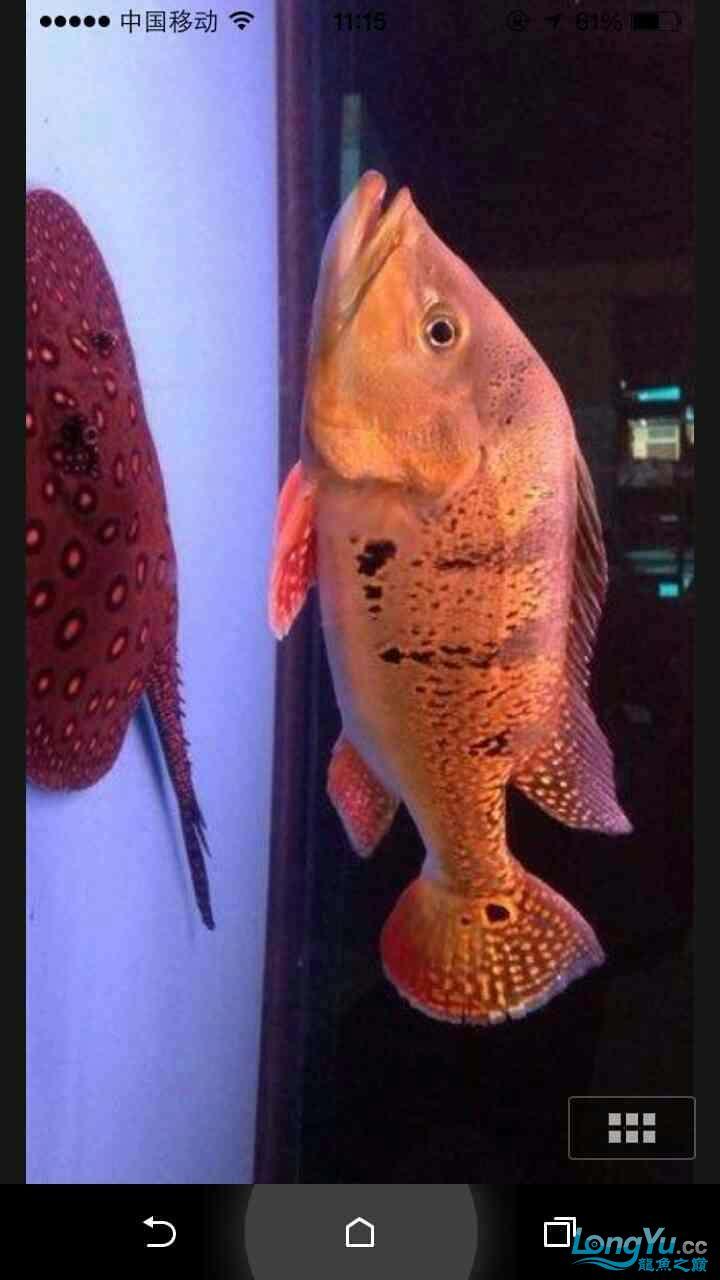 野生巴西亚请大师鉴定 西安观赏鱼信息 西安博特第3张