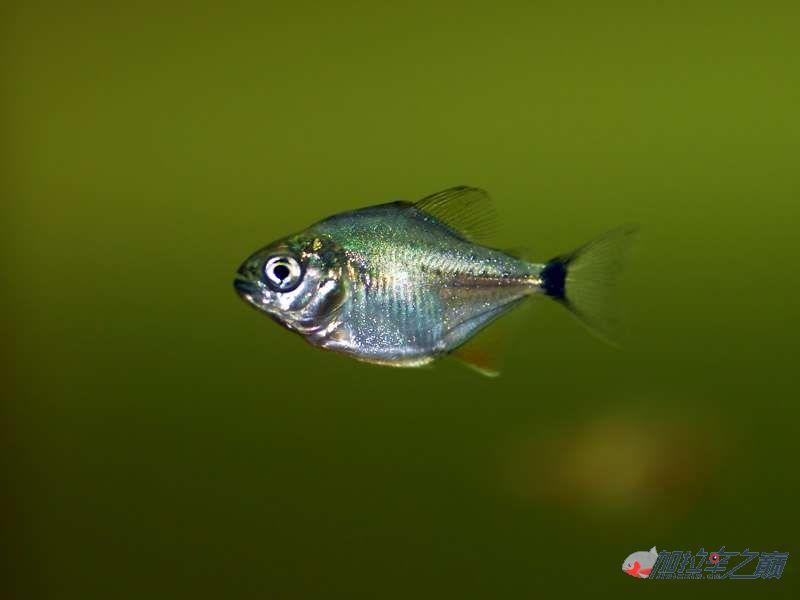 我的黄钻水虎鱼