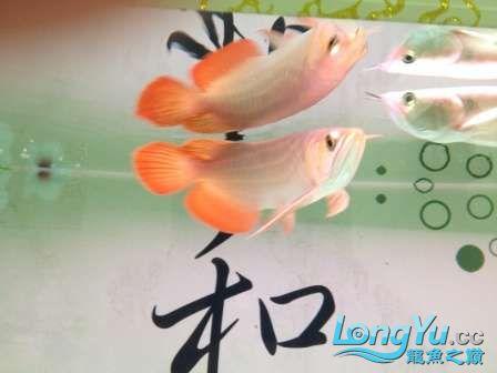 人生的第一条小红龙终于进缸请各位帮忙看看 西安观赏鱼信息 西安博特第1张