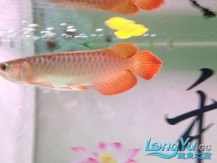人生的第一条小红龙终于进缸请各位帮忙看看 西安观赏鱼信息 西安博特第2张