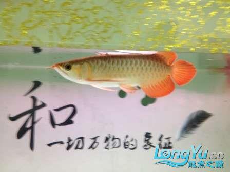 人生的第一条小红龙终于进缸请各位帮忙看看 西安观赏鱼信息 西安博特第5张