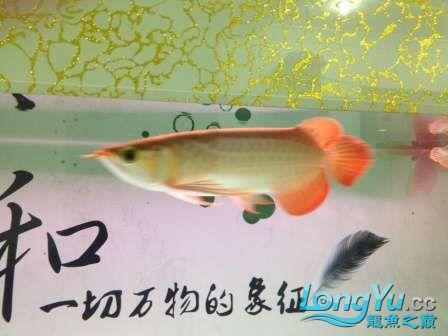 人生的第一条小红龙终于进缸请各位帮忙看看 西安观赏鱼信息 西安博特第3张