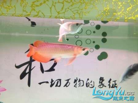 人生的第一条小红龙终于进缸请各位帮忙看看 西安观赏鱼信息 西安博特第4张