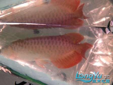 人生的第一条小红龙终于进缸请各位帮忙看看 西安观赏鱼信息 西安博特第7张