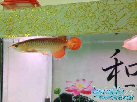 人生的第一条小红龙终于进缸请各位帮忙看看 西安观赏鱼信息 西安博特第6张