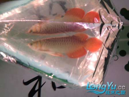 人生的第一条小红龙终于进缸请各位帮忙看看 西安观赏鱼信息 西安博特第9张