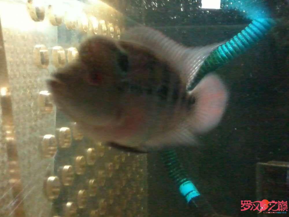 【西安巴厘岛热带鱼】大侠们帮看看是什么品种啊?从3cm下苗到现在一个月
